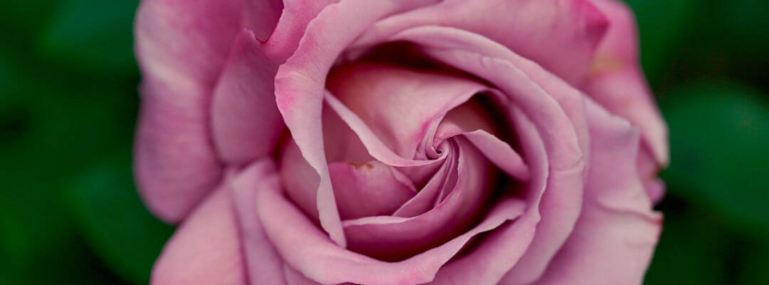 Pink rose with soft petals